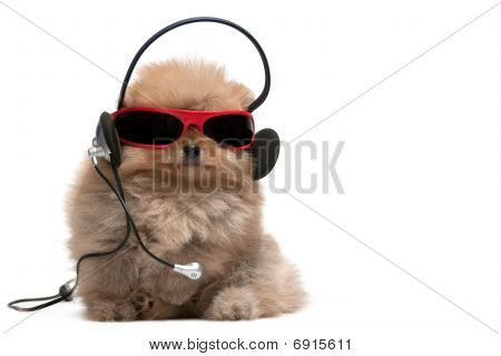 Pomeranian Spitz In Red Sunglasses And Headphones