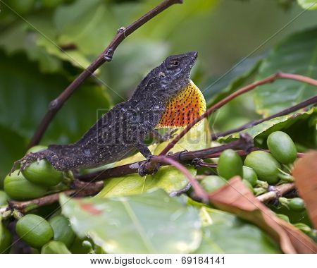 A gecko (Anolis carolinensis)  with extended dewlap (aka