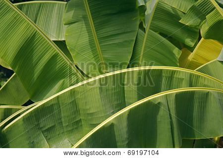 Banana Palm Leaves