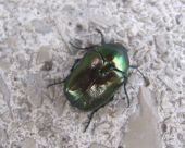 Green rose chafer (Cetonia aurata), a metallic green beetle poster