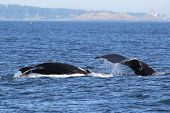 A Mom and Baby Humpback Whale off the Washington Coast poster