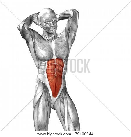 Concept or conceptual 3D abdomen or chest human anatomy or anatomical and muscle isolated on white background poster