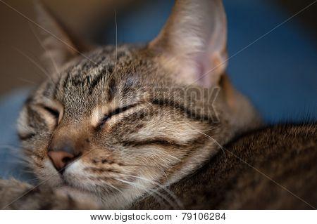 Cat Closeup Eyes Closed