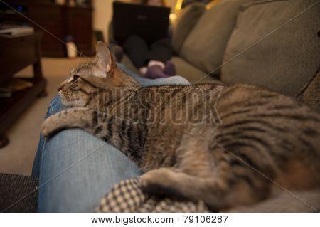 Cat Lounges On Blue Jean Lap