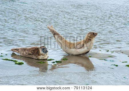 North Sea Seals