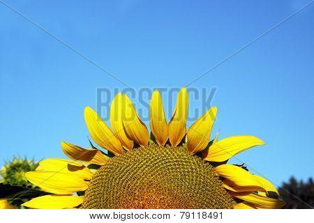 Sunflower set against a blue sky