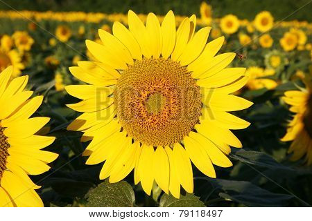Sunflower with a pollinating bee