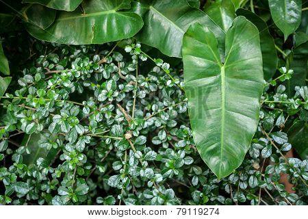 Syngonium podophyllum leaf on small leaves plant