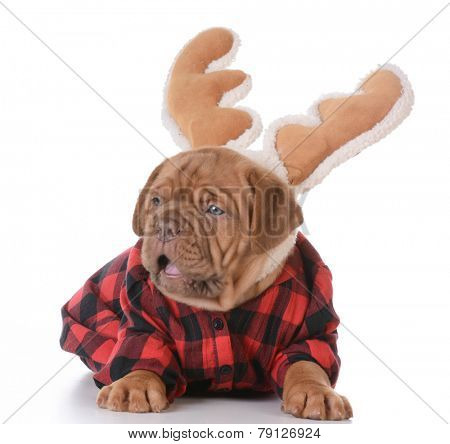 christmas puppy - dogue de bordeaux wearing rudolph antlers on white background - 5 weeks old