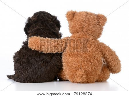 security - teddy bear with arm around a cute barbet puppy on white background