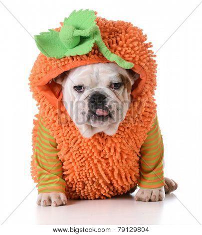 halloween puppy - english bulldog puppy wearing pumpkin costume on white background