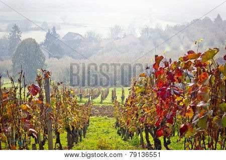 Vineyard In Autumn Fog View