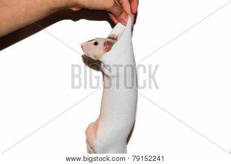 Rat In Sock