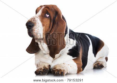 basset hound dog on white
