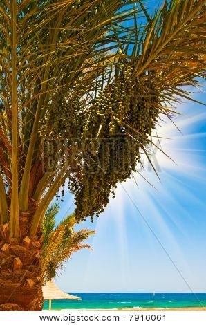 Date Palm With Bunches Of Dates And Fun Sun.
