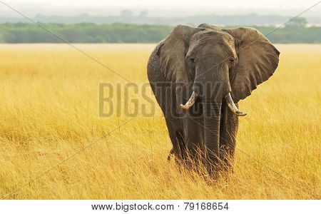 An African Elephant (Loxodonta africana) on the Masai Mara National Reserve safari in southwestern Kenya.