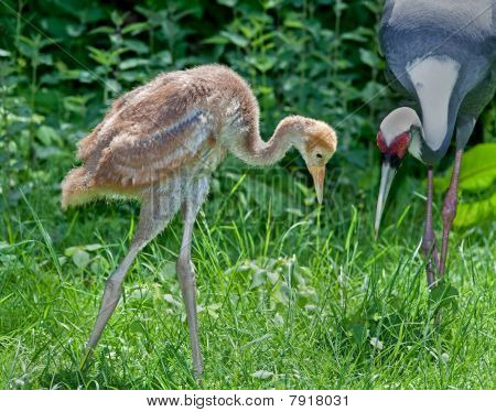 White-naped Crane Chick And Mother