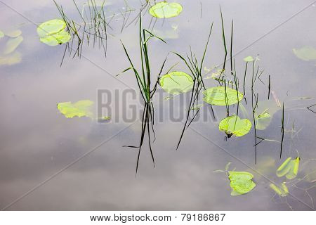 Water Surface With Lily Pads