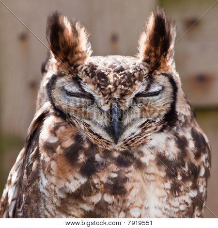Long eared owl bird head in closeup poster
