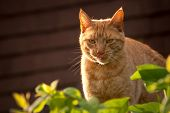 red tabby cat licking his lips at sunset poster