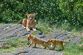 A female lion watches her two cubs playing with a stick. poster