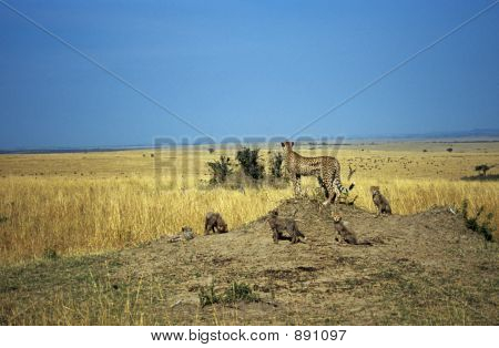 Cheetah On Hill With Cubs