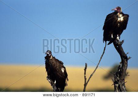 Vultures On Dead Tree