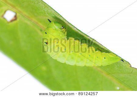 Mature Tailed Jay Caterpillar