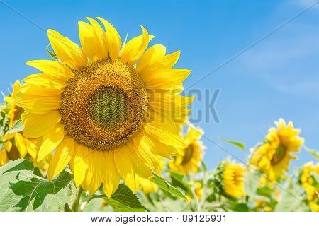 Sun Flower With Blue Sky