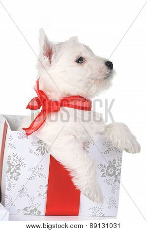 White Puppy With Ribbon  in Gift Box