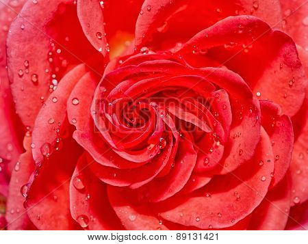 Beautiful Red Rose With Water DropsAfter Rain