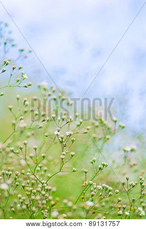 Small Defocused White Flowers at Summer Day