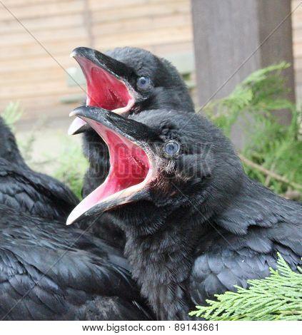 Raven babies