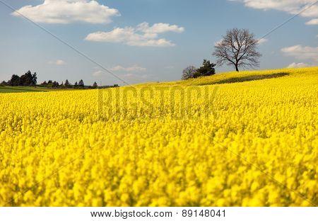 View Of Flowering Field Of Rapeseed