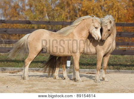 Two Gorgeous Welsh Pony Stallions Playing Together