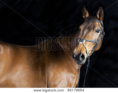 Brown Oldenburg Horse
