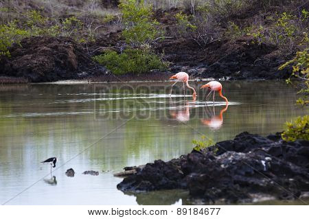 Flamingos walking in water