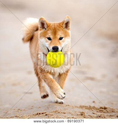 red shiba-inu puppy playing on the beach