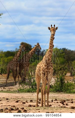 A Southern giraffe standing tall on the plains in South Luangwa