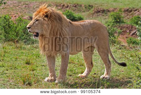 A lone wild Male Lion standing on the plains in Zambia