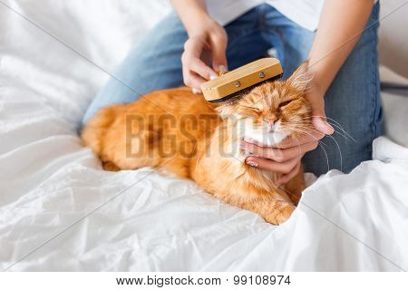 The Woman Combs A Dozing Cat's Fur. Ginger Cat's Head Lies On Woman Hand.