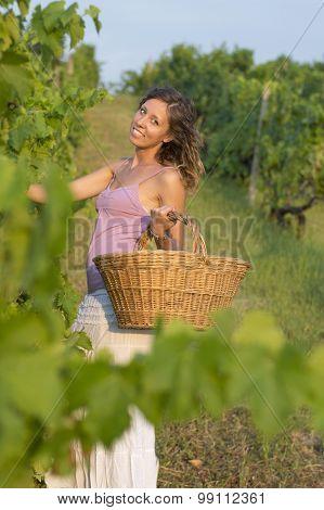 Brunnette Girl In Vineyard Working On Grape Harvest With Big Wicker Basket