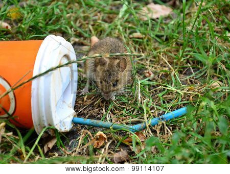 Little Rat Looking At Plastic Cup Thrown On The Grass