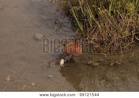Clapper rail shorebird, Rallus longirostris