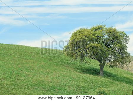 A single oak tree in a beautiful nature landscape.