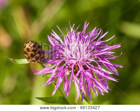Blooming Brown Knapweed, Centaurea Jacea Macro, Selective Focus, Shallow Dof