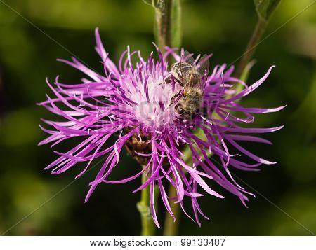 Honey Bee On Knapweed Flower, Macro, Selective Focus