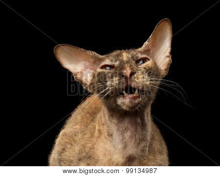 Closeup Meowing Peterbald Sphynx Cat on Black background poster