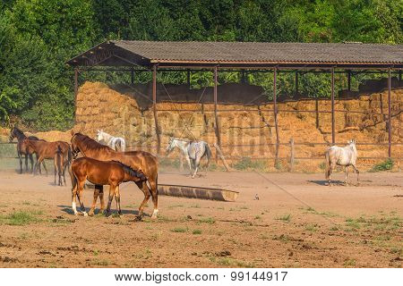 Young foal nursed by mare on horse ranch farm on bright sunny summer day poster