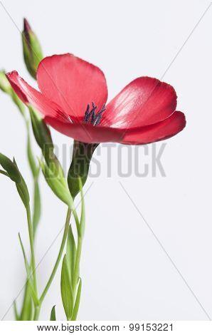 Flax (linum Grandiflorum) Flower